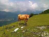 Kráva na vrcholu hory .... Gemeindealpe