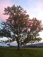Strom v Orlických horách