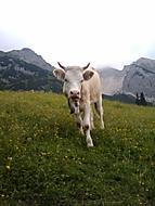 Kravička v Alpách