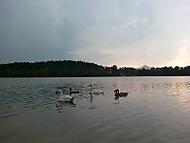 Labutě na Hamerském jezeře