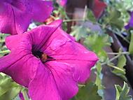 opylení květiny