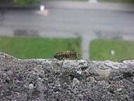 Vosa nebo včelka