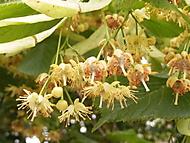 Kvetoucí lípa