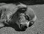 Rumunské psisko