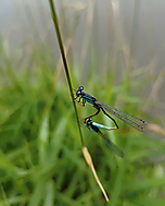 Šidelko ozdobné  (Coenagrion ornatum) (sunbeam1986) - Samsung Galaxy S7 32GB