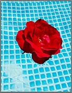 bazénová růže
