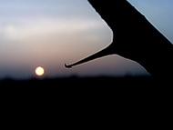Trn se západem slunce