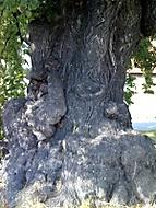 Život stromů má jiný časový rozměr.