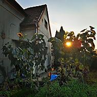 Večerní slunečnice