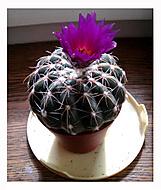 Kaktusová krása