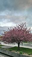 Jarní třešeň