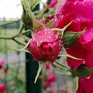Růžička po dešti.