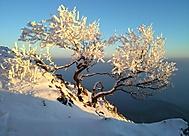 Zmrzlá bonsaj...