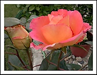 šípková růža
