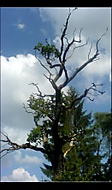 prastarý dub