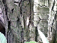 Škvor - albín