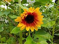 mezi slunečnicemi