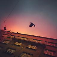 Letná - vrána v letu