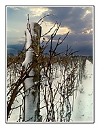 Zima ve vinici
