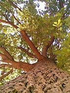 starý dub