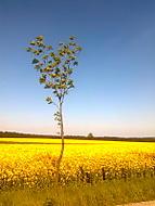 žlutá oáza