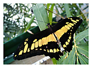 http://galerie.mobilmania.cz/data/592/thumbs/Papilio.jpg