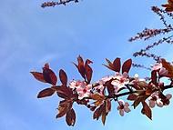 Prunus_carasifera