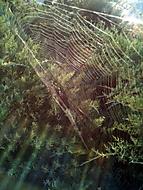 pavučinka v ranním slunci