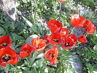 tulipáni