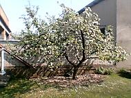 dědova jabloň