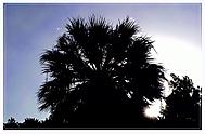 sluníčko za palmou