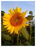 slnecnica