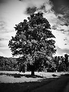 Strom v babiččině údolí