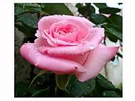 Plačící růžička