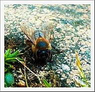 Pan včelka