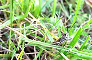 Ještě jedna kobylka