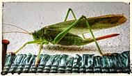 Zelená kobylka