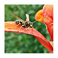 Angry wasp (THana) – Samsung Galaxy S4
