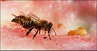 Včela a melón 1.