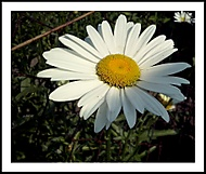 Bílá kráska
