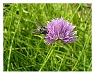Moucha na květu pažitky