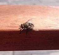 Prostě moucha chlupatá