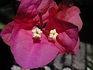Rozkvetlá bouganvilea