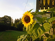 Slunecnice