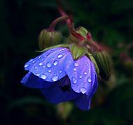 Kakost luční za deštivého počasí