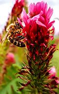 Včela- jetel nachový