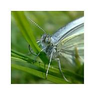 Motýľofka detailná