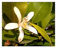 Květ citroníku