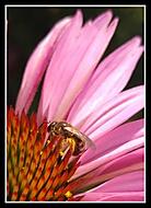 Včela samotářka