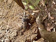 Brouk Tesařík (Rhagium mordax)